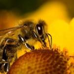 Foto-včela